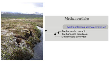 Swedish permafrost and Archeae order Methanocellales